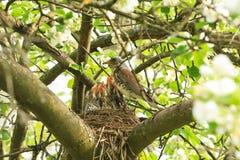 Uccelli di bambino affamati in un nido con il tordo della madre fotografia stock