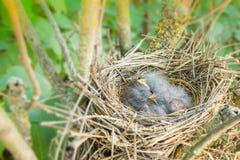 Uccelli di bambino coccolati su in nido Fotografia Stock