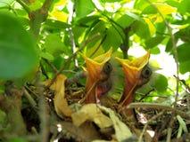 Uccelli di bambino in nido Fotografia Stock