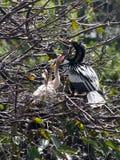 Uccelli di bambino in nido con il papà Anhiga Immagini Stock