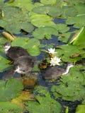 Uccelli di bambino su acqua Immagini Stock Libere da Diritti