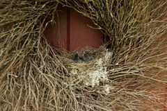 Uccelli di bambino in un nido Immagine Stock Libera da Diritti
