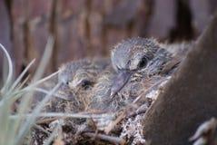 Uccelli di bambino in un nido Fotografia Stock