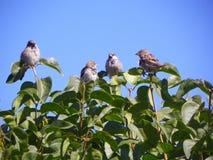 Uccelli di Brown sui rami Fotografia Stock Libera da Diritti