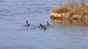 Uccelli di clypeata della spatola del mestolone nordico che ballano alla primavera sul lago video d archivio