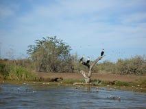 Uccelli di delta del fiume Fotografia Stock Libera da Diritti