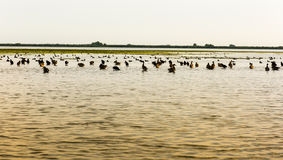 Uccelli di delta di Danubio Immagine Stock Libera da Diritti