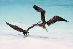 Uccelli di fregata che si alimentano alla spiaggia di Tulum Immagine Stock Libera da Diritti
