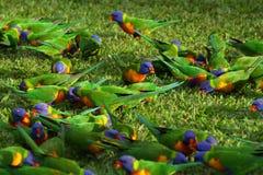 Uccelli di Lorikeet del Rainbow Fotografia Stock