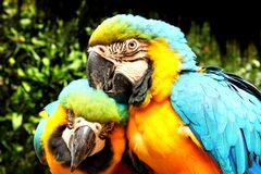 Uccelli di Macao Fotografia Stock Libera da Diritti
