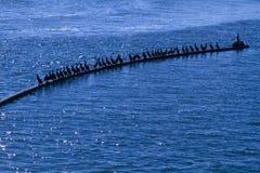 Uccelli di Mar Nero nel mare Immagini Stock