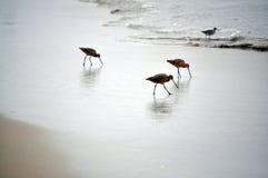 Uccelli di mare Immagini Stock