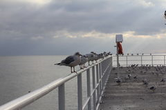 Uccelli di mare Fotografie Stock