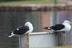 Uccelli di mare Fotografie Stock Libere da Diritti