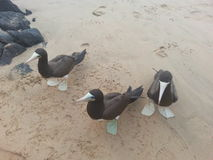 Uccelli di mare che aspettano un alimento Fotografia Stock Libera da Diritti