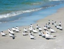 Uccelli di mare che pescano a traina la spiaggia Fotografia Stock