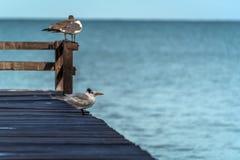 Uccelli di mare che riposano su una pera di legno, spazio della copia fotografia stock