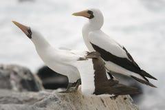 Uccelli di mare del Galapagos Immagini Stock Libere da Diritti