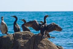 Uccelli di mare su una pietra Fotografia Stock Libera da Diritti