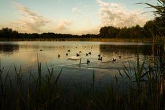 Uccelli di nuoto Immagini Stock
