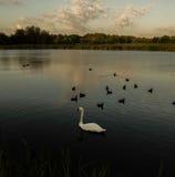 Uccelli di nuoto Fotografie Stock Libere da Diritti
