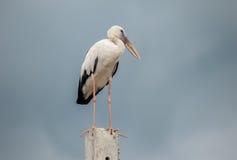 Uccelli di Openbill Fotografie Stock Libere da Diritti