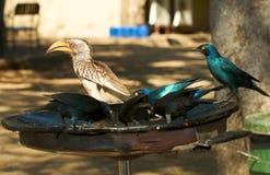 Uccelli di ora di pranzo Immagine Stock