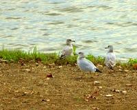 Uccelli di riva sui gabbiani della spiaggia Fotografia Stock