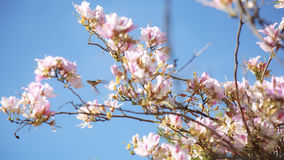 Uccelli di ronzio che si alimentano fuori dagli alberi di Cherry Blossom del giapponese archivi video