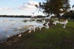 Uccelli di Sanderpipers sul lago nel villaggio di Ocoee Fotografia Stock