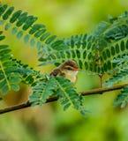 Uccelli di Shortwing Fotografie Stock Libere da Diritti