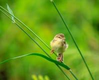 Uccelli di Shortwing Immagini Stock