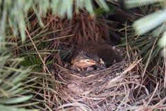 Uccelli di sonno fotografie stock