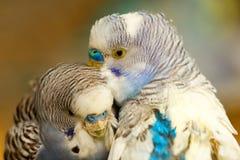 Uccelli di Undulatus del Melopsittacus Fotografia Stock