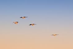 Uccelli di volo Immagini Stock Libere da Diritti