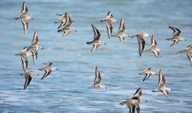 Uccelli di volo, alla spiaggia di EL Espino Fotografia Stock