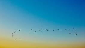 Uccelli di volo della siluetta Fotografie Stock