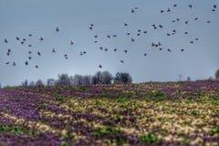 Uccelli di volo sopra un campo porpora Fotografia Stock