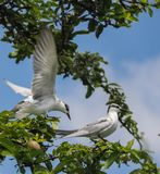 Uccelli di volo, sumatrana degli sterni Fotografie Stock