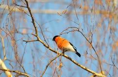 Uccelli differenti Altaya Immagine Stock Libera da Diritti