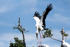Uccelli dipinti della cicogna bei della mosca nelle creature esotiche del cielo Immagini Stock Libere da Diritti