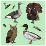 Uccelli domestici e selvaggi La Turchia ed anatra oca e gufo reale inciso disegnato a mano nel vecchio schizzo, stile d'annata pe illustrazione di stock
