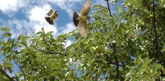 Uccelli durante il volo Fotografie Stock