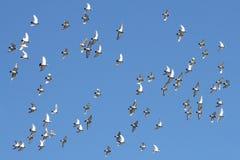 Uccelli durante il volo fotografie stock libere da diritti