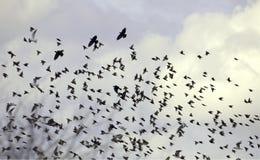 Uccelli e nubi Fotografia Stock Libera da Diritti