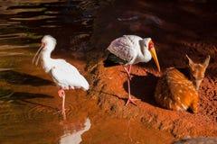Uccelli e piccoli cervi Immagini Stock Libere da Diritti