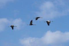 Uccelli e volo fotografia stock