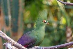Uccelli ed animali esotici della pernice di Roul-roul in fauna selvatica nella regolazione naturale fotografia stock libera da diritti