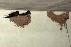 Uccelli ed animali in fauna selvatica Il sorso alimenta gli uccelli di bambino Fotografie Stock