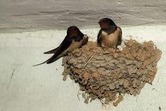 Uccelli ed animali in fauna selvatica Il sorso alimenta gli uccelli di bambino immagini stock libere da diritti